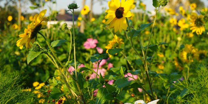 Bloemen Weergors Hellevoetsluis (8).jpg